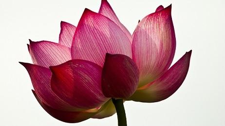 Lotus Complex in Skin Care