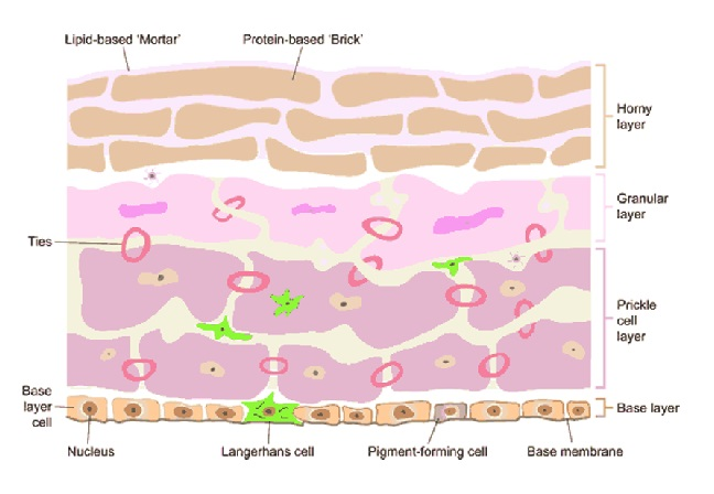 The Role of Topical Moisturizers in Managing Compromised Skin